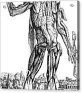 Vesalius: Muscles, 1543 Acrylic Print