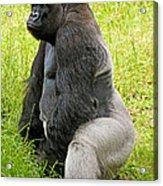 Western Lowland Gorilla Acrylic Print
