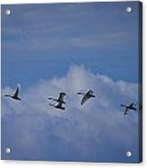 Whooper Swans Acrylic Print