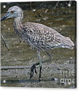 Yellow -crowned Night Heron Acrylic Print
