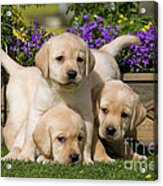 Yellow Labrador Puppies Acrylic Print