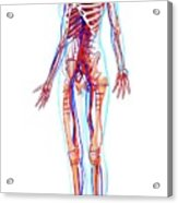 Female Anatomy Acrylic Print