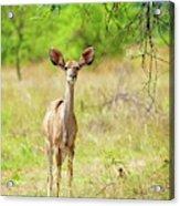 African Mammals Acrylic Print
