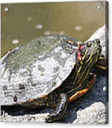 75 Year Old Turtle Moving On Acrylic Print