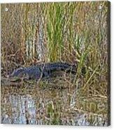 American Alligator  Acrylic Print