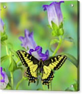 Anise Swallowtail Butterfly, Papilio Acrylic Print