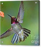 Annas Hummingbird Acrylic Print