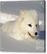 Arctic Fox Acrylic Print