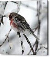 Common Redpoll Acrylic Print