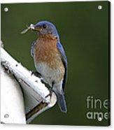 Eastern Bluebird Acrylic Print by Linda Freshwaters Arndt