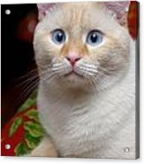 Flame Point Siamese Cat Acrylic Print