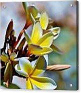 Frangipani Blossom Acrylic Print