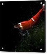 Fresh Water Shrimp Acrylic Print