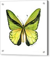 8 Goliath Birdwing Butterfly Acrylic Print