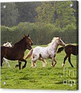 Horses On The Meadow Acrylic Print