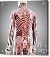 Human Muscles Acrylic Print