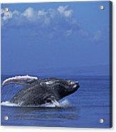 Humpback Whale Breaching Maui Hawaii Acrylic Print