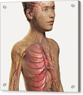 Internal Anatomy Pre-adolescent Acrylic Print