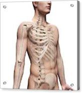 Male Skeletal System Acrylic Print