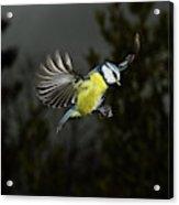 Mesange Bleue Parus Caeruleus Acrylic Print