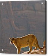 Mountain Lions In The Western Mountains Acrylic Print