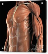 Muscles Of The Upper Body Acrylic Print