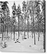 Pine Forest Winter Acrylic Print