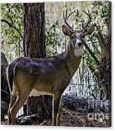 8 Point Buck In My Backyard Acrylic Print