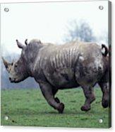 Rhinoceros Blanc Ceratotherium Simum Acrylic Print