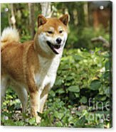 Shiba Inu Dog Acrylic Print