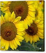 Sunflower Series Acrylic Print
