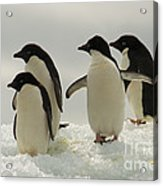 Adelie Penguins Acrylic Print