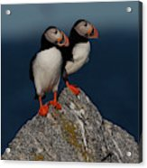 Atlantic Puffins Fratercula Arctica Acrylic Print