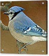 Blue Jay Animal Portrait Acrylic Print