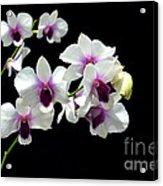 Dendrobium Orchid Acrylic Print