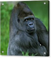 Gorille De Plaine Gorilla Gorilla Acrylic Print