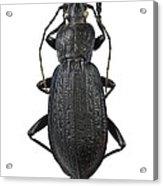 Ground Beetle Acrylic Print