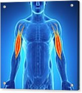Human Arm Muscles Acrylic Print