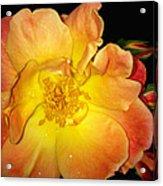 Joseph's Coat Rose Acrylic Print
