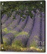 Lavender Field, France Acrylic Print