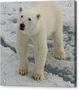 Polar Bear Crossing Ice Floe Acrylic Print