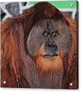Portrait Of A Large Male Orangutan Acrylic Print