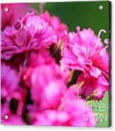 Sweet William From The Super Duplex Bluepoint Mix Acrylic Print