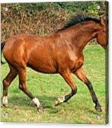 The Bay Horse Acrylic Print