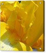 Yellow Iris 2 Acrylic Print