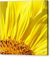 #923 D718 You Are My Sunshine. Sunflower On Colby Farm Acrylic Print