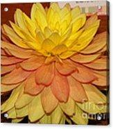#928 D801 Dahlia Orange Yellow Pink Green Acrylic Print