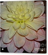 #928 D809 Dahlia Pink White Yellow Dahlia Thoughts Of You Acrylic Print