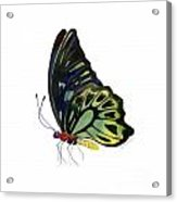 97 Perched Kuranda Butterfly Acrylic Print by Amy Kirkpatrick