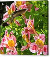 A Annas Humming Bird Acrylic Print